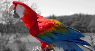 Parrot-large
